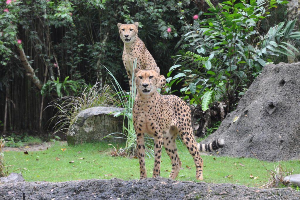 Najszybsze zwierzęta lądowe w zoo w Singapurze